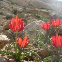 צבעוני המדבר (2)